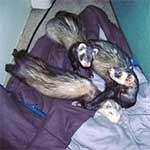 Merissa's Ferrets