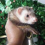 Pat's Ferrets