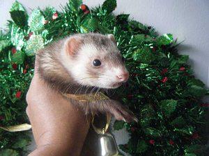 Pat's ferret Peach says... Merry Christmas everybody!!!